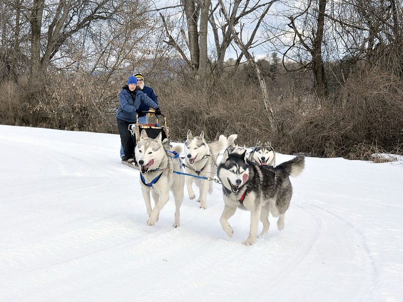 Dog Sledding in Vermont with Braeburn Siberians